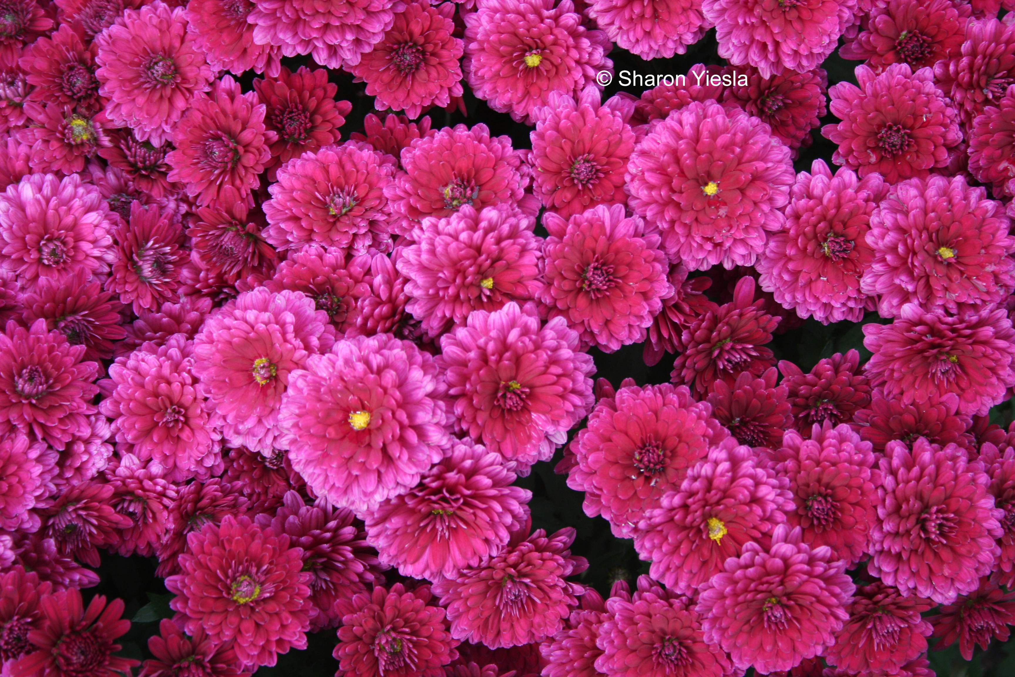 Bright pink mums for autumn